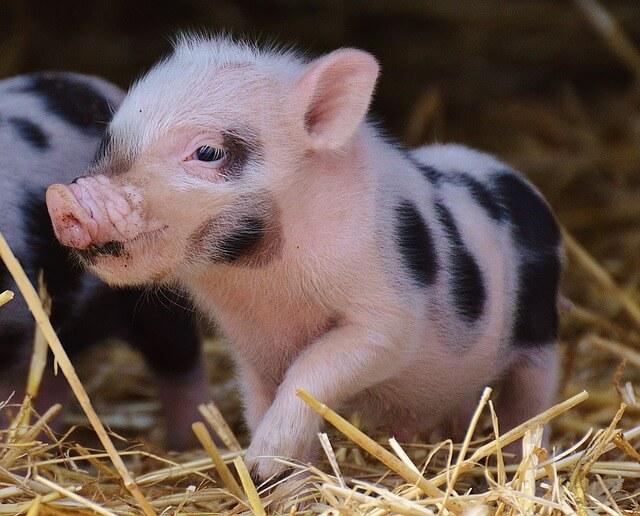 Human Pig Embryos For Organ Transplant
