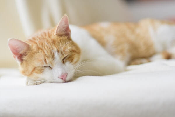 Dying Cat Symptoms - Signs that Indicate Your Cat is Dying