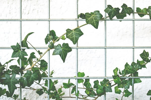 English Ivy One Of The Best Air Purifying Plants