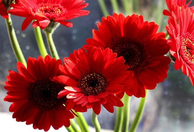 Gerbera Daisies for Better Sleep