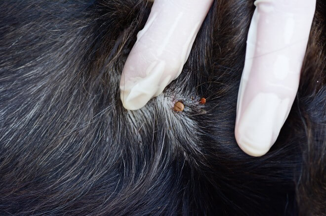 How to deal with dog ticks