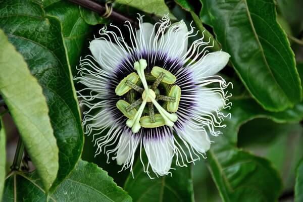Passion Flower Beautiful And Effective