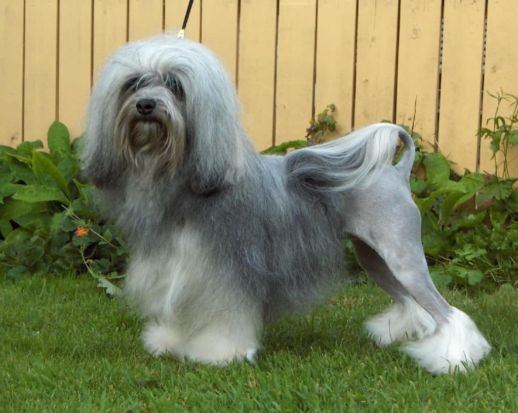 Lowchen - top 10 most amazing dog breeds