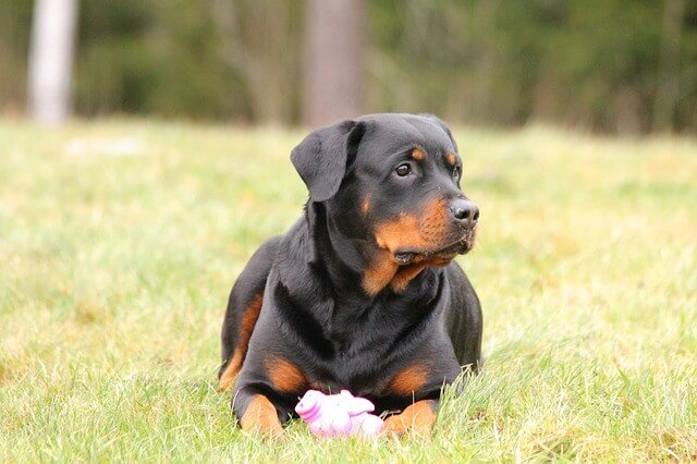 Rottweiler - most expensive dogs to buy