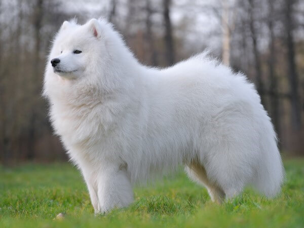 Samoyed - most elegant dog breeds in the world