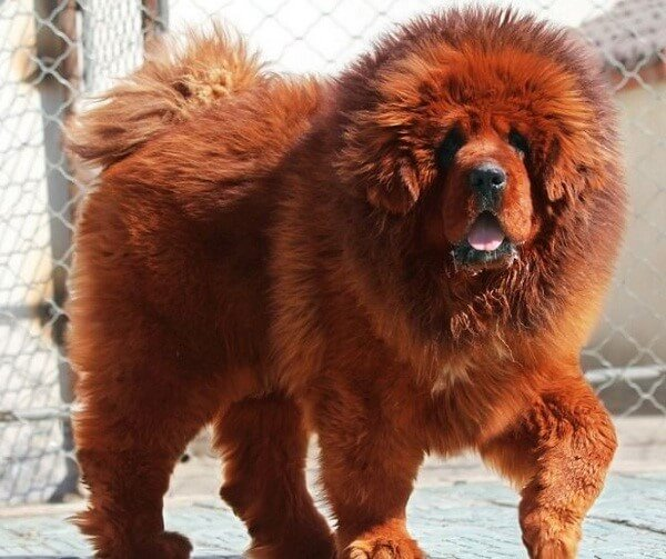 Tibetan Mastiff - most expensive dog in the world