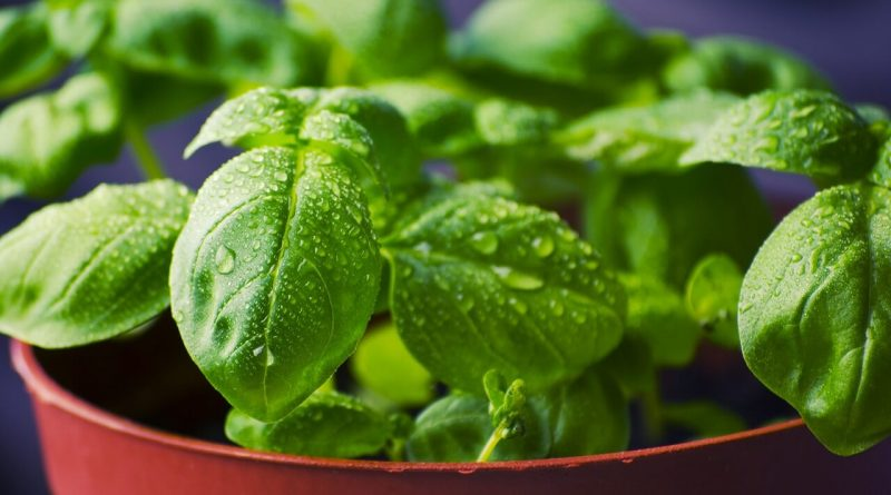 How to Freeze Basil the Right Way