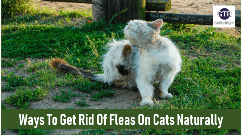 Fleas On Your Cats Learn How To Get Rid Of Fleas On Cats Naturally