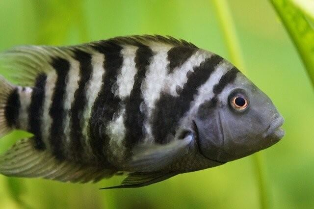 Caring for Your Pet Cichlid