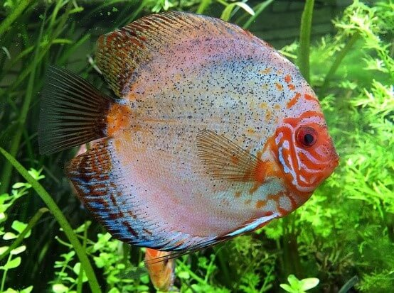 How To Take Care Of Your Pet Cichlid